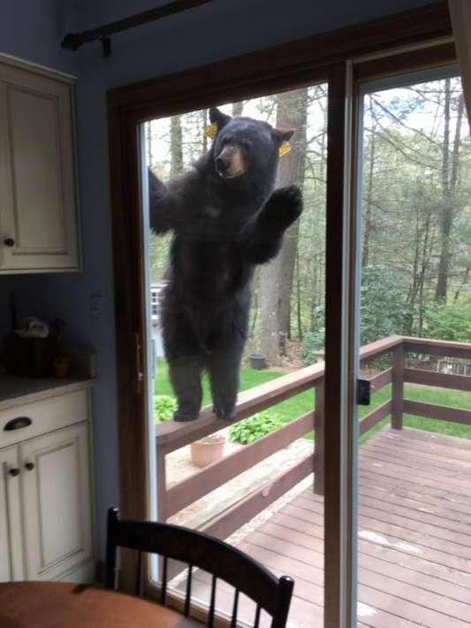 どうしてもブラウニーが食べたくて、何が何でも家に入ろうとするクマがかわいいけど怖い