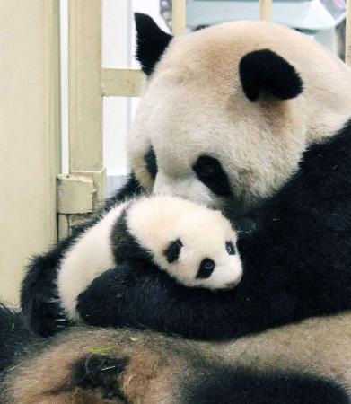 上野動物園のジャイアントパンダ「シンシン」が出産 平成24年以来