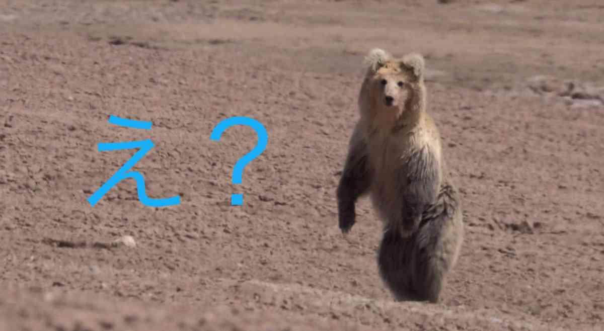 チベットスナギツネの狩りの方法が図々しすぎるww