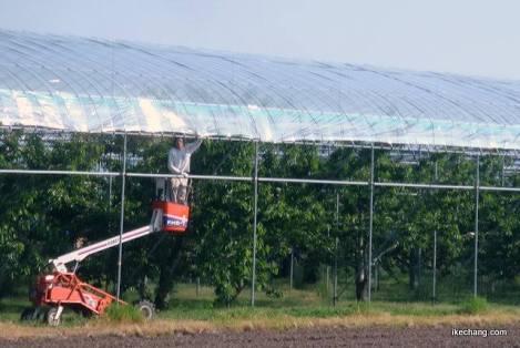 サクランボ収穫中 昇降機に挟まれ男性死亡