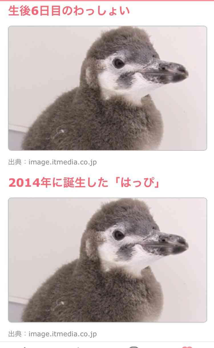 元気なお名前ありがとう すみだ水族館のマゼランペンギンの赤ちゃん「わっしょい」と命名