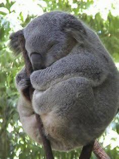 コアラが集まるトピ