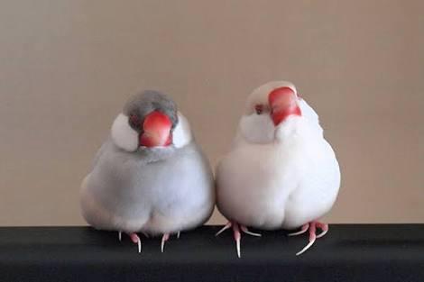 文鳥の魅力を語りたい