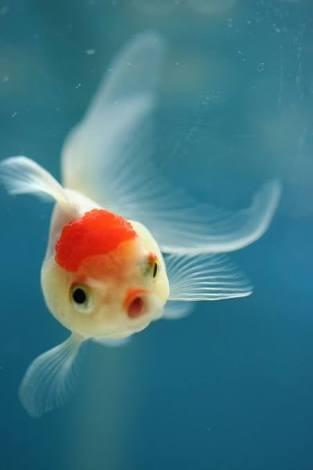 魚界の美少女集めてアイドルグループを結成するトピ