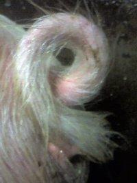 モフモフのしっぽ画像