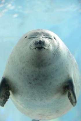 アザラシの連続写真が「癒される」「泳ぎ方が面白い」