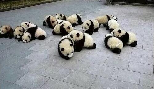 パンダの赤ちゃん「シェーッ」 母の胸で、発育順調