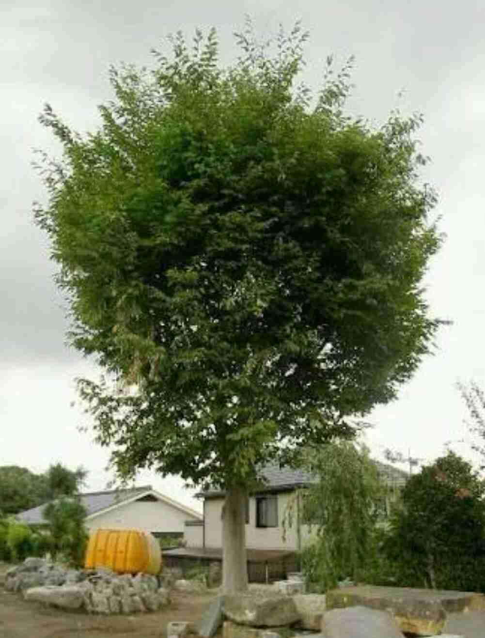 シンボルツリーおすすめ