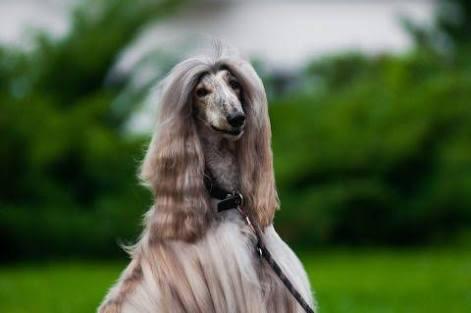 ウィッグをかぶった甲斐犬がまるで洋犬みたい 「美人すぎる」「モデルさんみたい」「違和感ない」