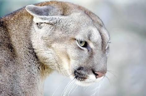 ネコ科の動物が集まるトピ