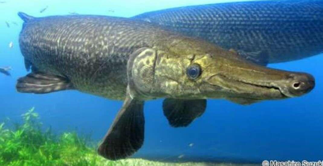 高知の川にアリゲーターガー 高校生が釣る