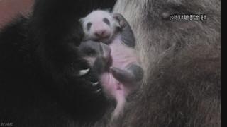 上野動物園の赤ちゃんパンダが生後2ヶ月 順調に成長、上手にハイハイも