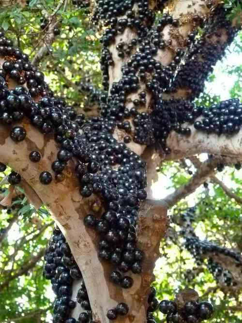 木に実ったフルーツの画像下さい