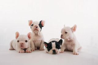 ぶさかわ犬種が大好き