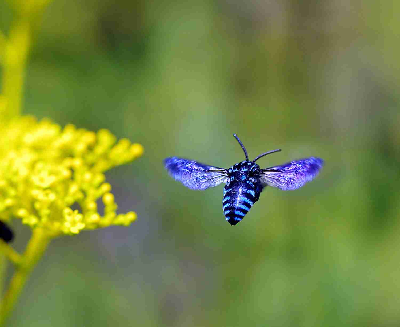 幸せ呼ぶ青いハチ、南阿蘇に戻る 熊本地震後、久々に姿