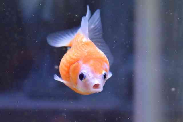 金魚好きな方語りましょう♪