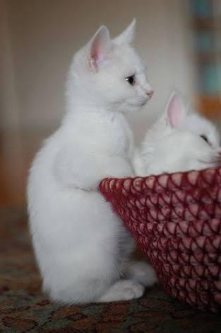 白猫の画像が集まるトピ
