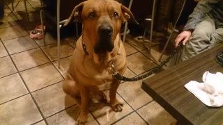 青森で土佐犬の脱走相次ぐ、飼い主に罰則設ける