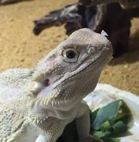 【爬虫類苦手な人は注意】「フードをかぶってる?」「きぐるみみたい!」トカゲさんの脱皮がかわいいと話題