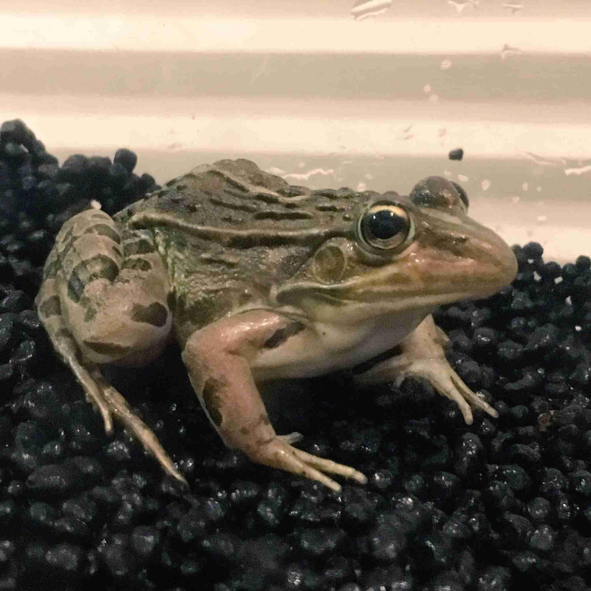 【苦手な人注意】カエルの画像が集まるトピ