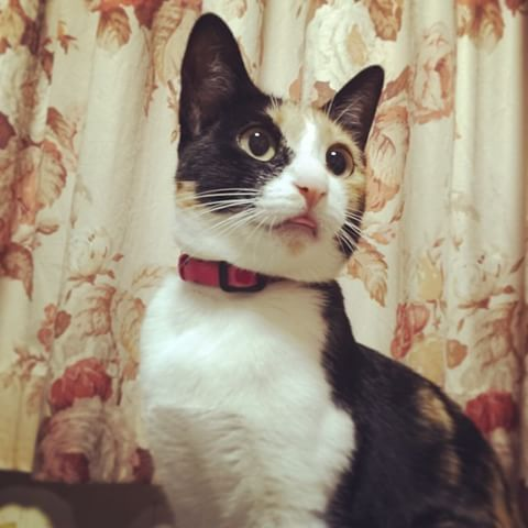【画像】舌をしまい忘れている猫達