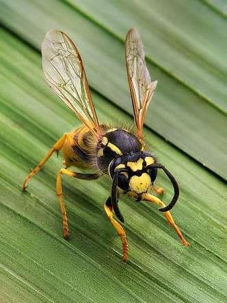 ニュージーランドで発見された新種のハチ 「マルフォイ」と命名される