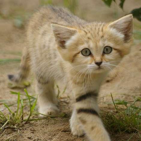 野生のスナネコの子ども、研究者がモロッコで発見 とってもかわいい!
