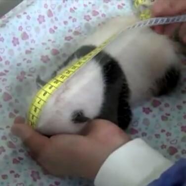 上野動物園の赤ちゃんパンダ・シャンシャン、「四肢で歩けるようになりました」