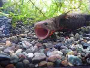 2週間に1度くらいしか見られない「オオサンショウウオのあくび」が完全にゴジラ!