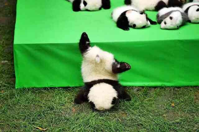 画像 パンダを愛でるトピ