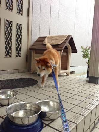 散歩拒否or帰宅拒否のお犬様の画像プリーズ