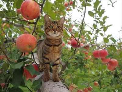 リンゴ園悲鳴「手回らない…」津軽地方、高齢化や労働力不足深刻、時給は750円