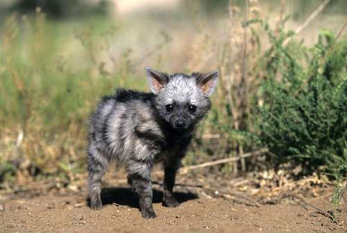 かわいくて個性的だけどあまり知られてない「アードウルフ」はこんな動物