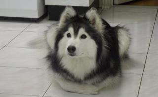 撫でるの止めないで!表情の圧でなでなでをおねだりするハスキー犬が可愛い