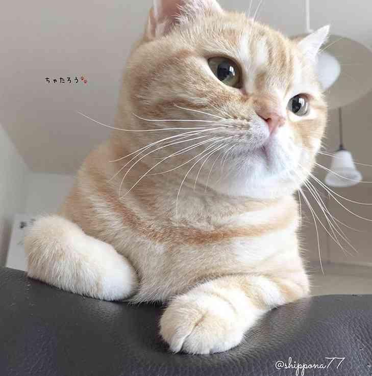 猫の胸毛もふもふ画像ください。