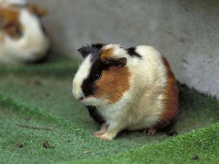 天竺鼠好きな人語ろう!