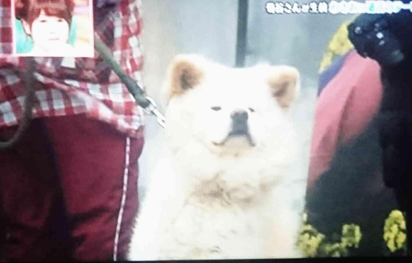 ぶさかわ秋田犬「わさお」飼い主が亡くなった今