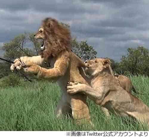 狩野英孝、ライオンに噛まれる