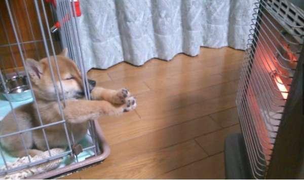 柴犬の画像を貼るトピฅ՞•ﻌ•՞ฅワン