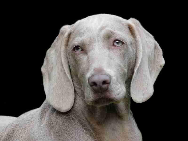 【ピンシャー】短毛犬種好きな方・飼ってる方!【イタグレ】