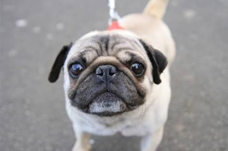 鼻ぺちゃ犬好きな人~