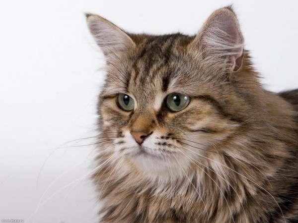 ロシア人「道端で子猫が凍り付いてる!」解凍してあげると…驚くほど美しい毛並みだった