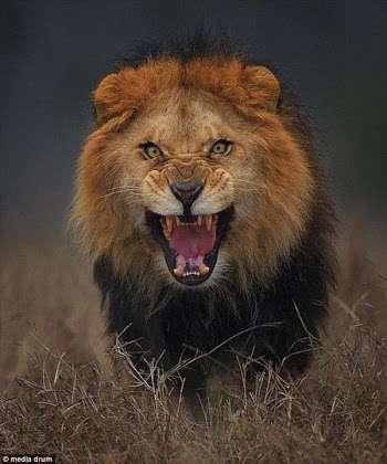 南アフリカのライオン、「密猟者」を食べる 頭だけ残し