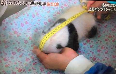 【シャンシャン】上野動物園が公開した「パンダ史上最も美しいひざカックン」の動画が可愛すぎると話題