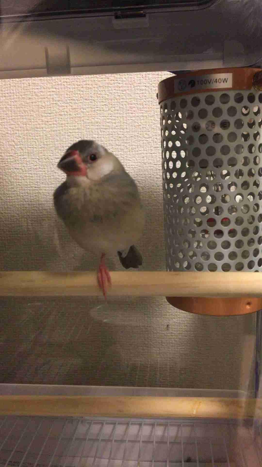 文鳥の魅力を語るトピ!