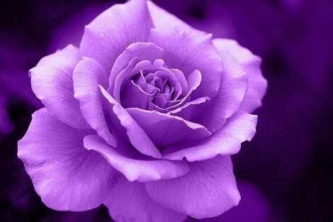 綺麗な薔薇を貼るトピ