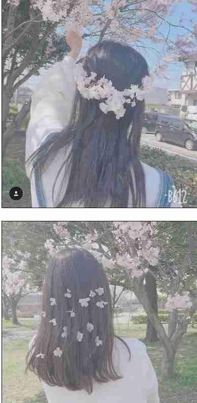 公園で桜11本切られる…3本は幹から切断