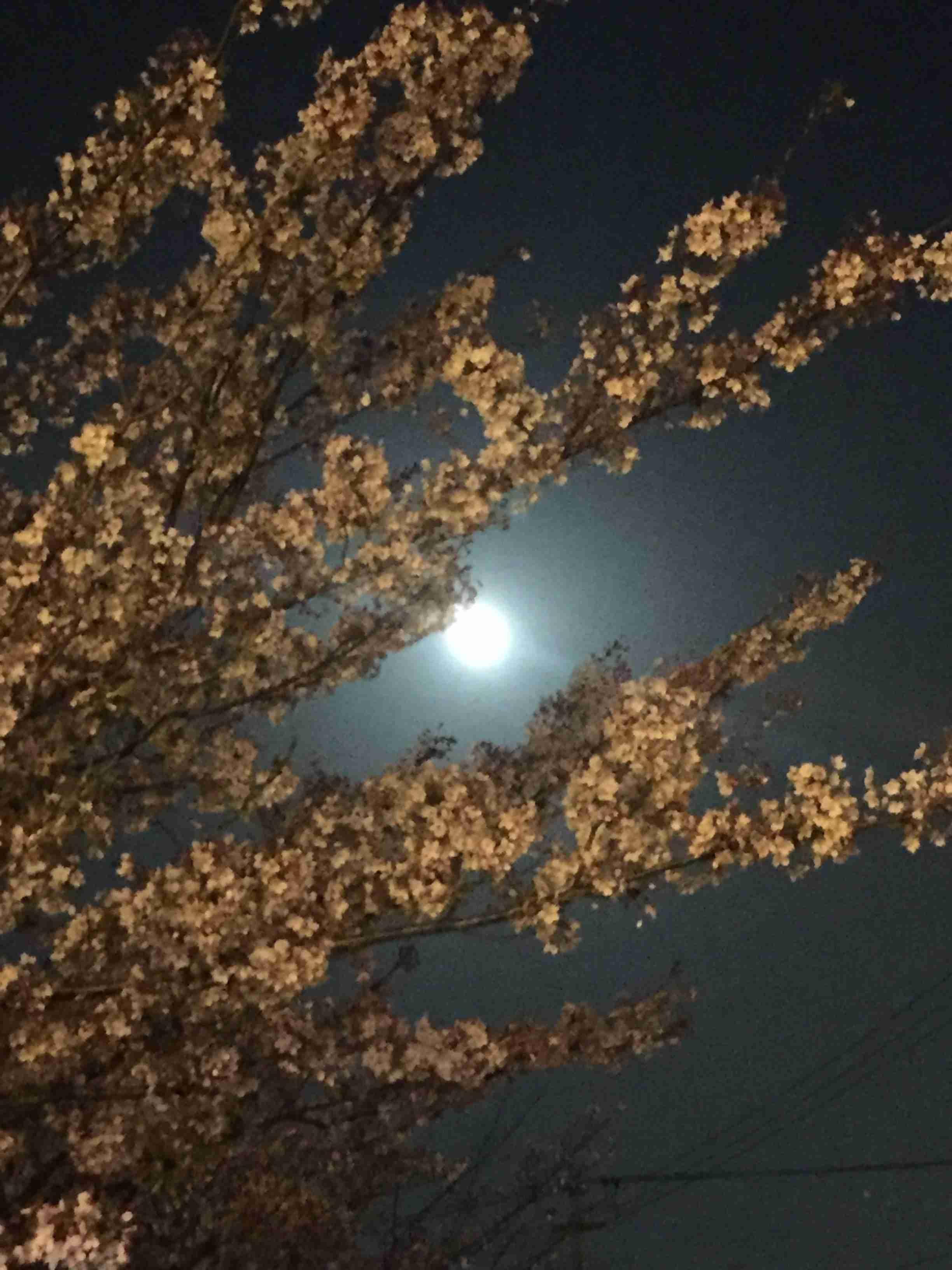 今夜はブルームーン 満月と夜桜の饗宴