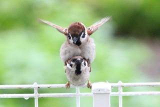 小倉智昭キャスター、モト冬樹のスズメ保護問題に「大目に見るとか大岡裁きはないの?」
