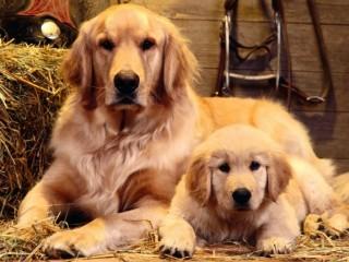 大型犬好きな方・飼っている方